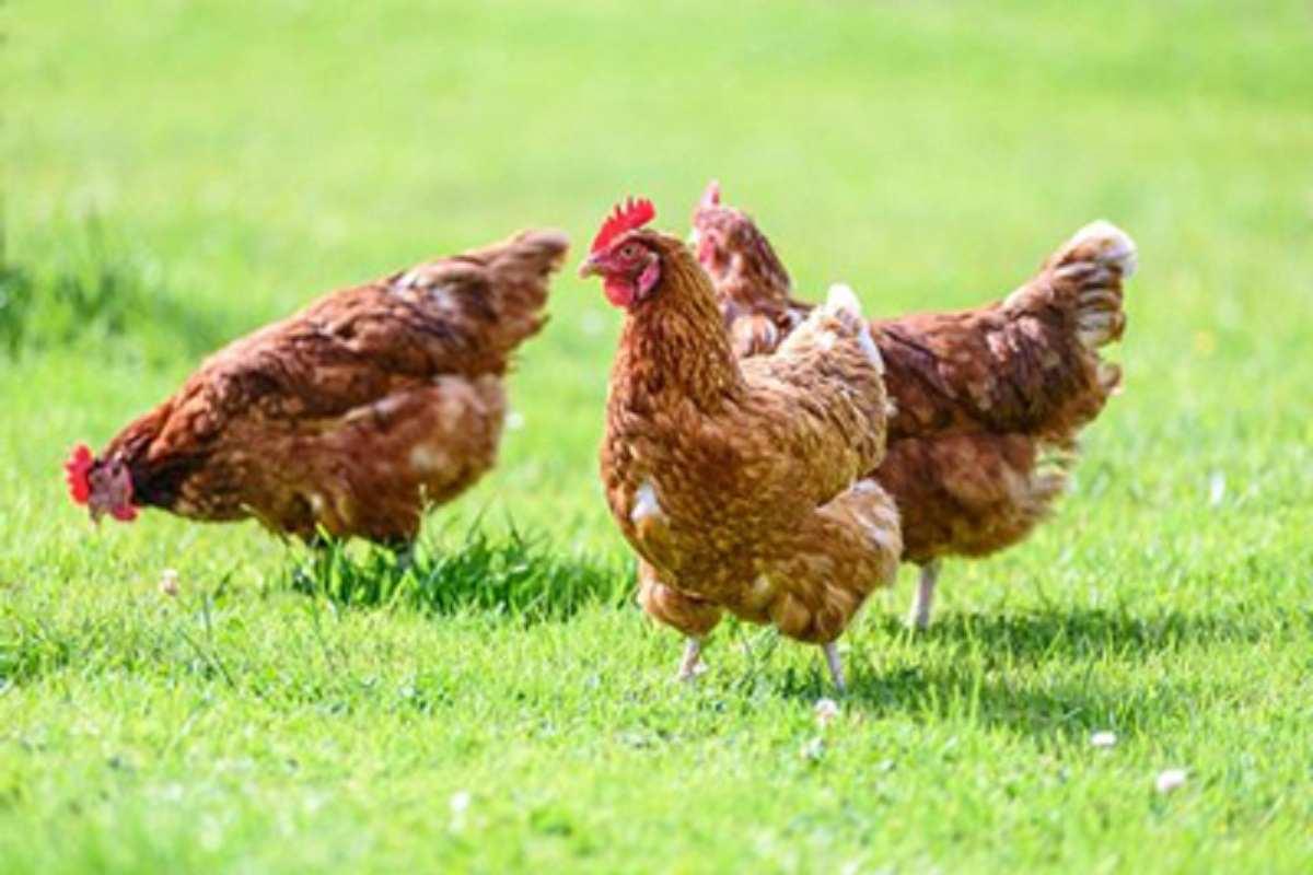 آلرژی-مرغ-چه-علائمی-دارد