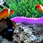 آکواریومی طبیعی در نمایشگر با DigiFish Clownfish v1.0