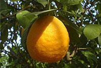 طرز تهيه رب نارنج