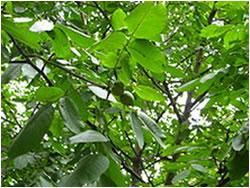 برگ درخت گردو