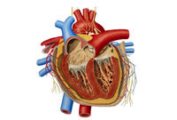 قلب انسان Human heart www.medicblog.blogfa.com