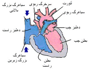 قلب انسان www.medicblog.blogfa.com