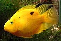 ماهی پرت یا بوفالو