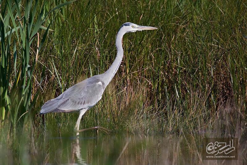ع پاهای سفید پرندگان ، حواصيل خاکستري