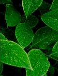 برگهای سبز