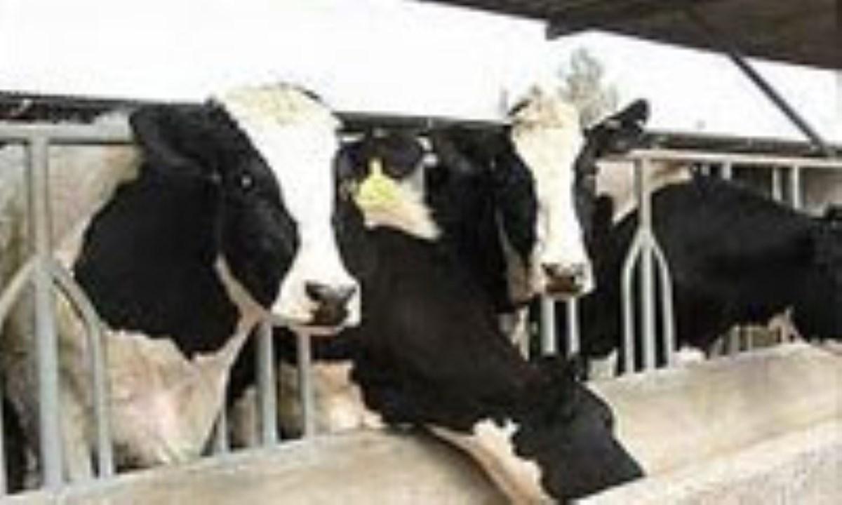 اثر-سطوح-مختلف-کنجاله-کلزا-بر-عملکرد-تولید-شیر-و-برخی-متابولیت-های-خونی-گاوهای-شیرده-هلشتاین-(2)