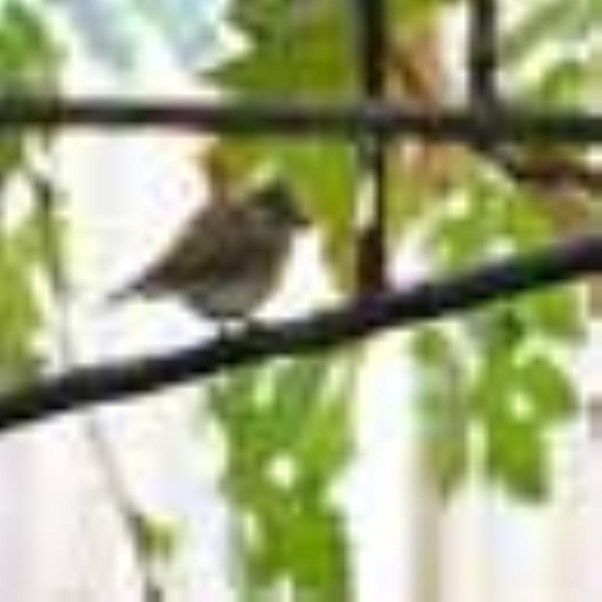 خانواده مگس گير (Family Muscicapidae) - پرندگان ایران