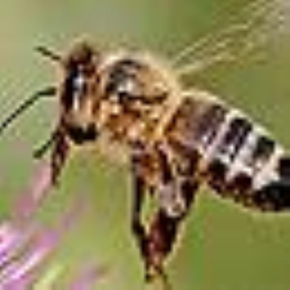 زنبورها کليد پايداري محصولات کشاورزي