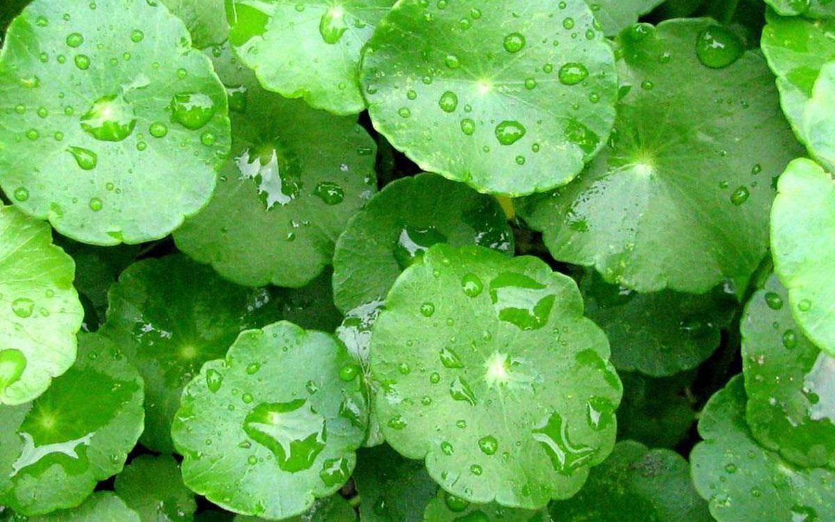 خواص گیاه گوتوکولا یا همان آب قاشقی