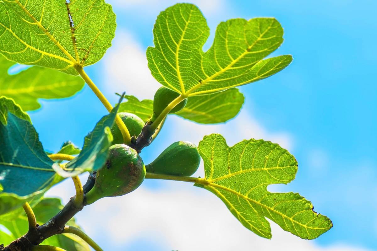 خواص برگ انجیر برای سلامتی