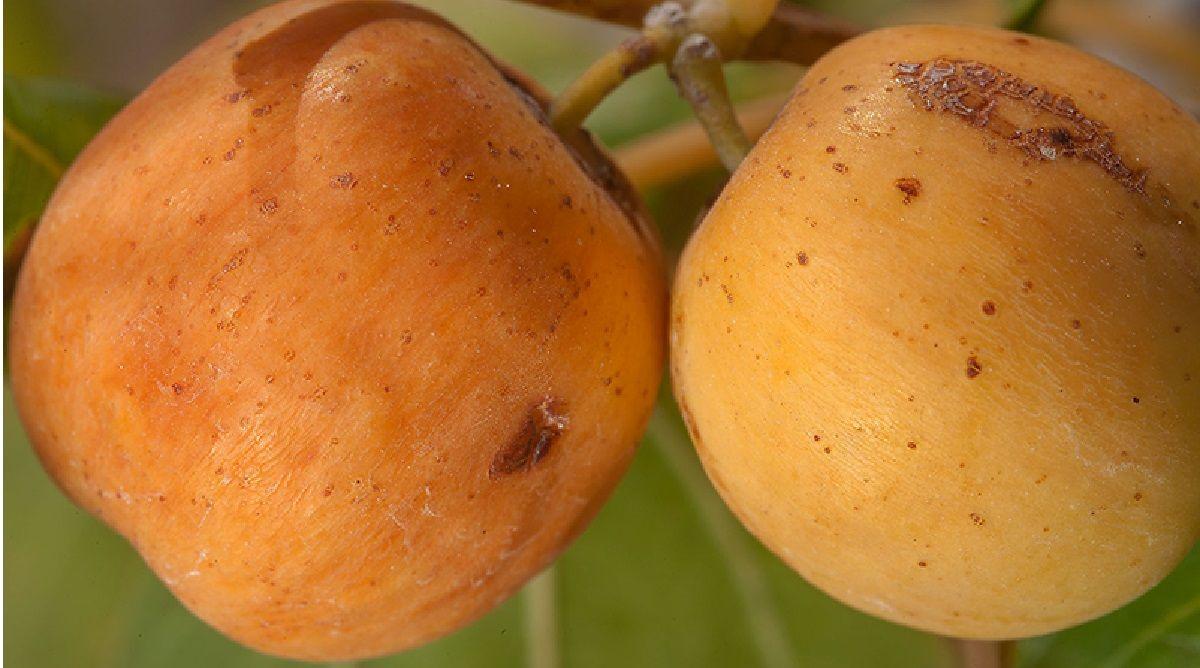 خواص میوه کنار