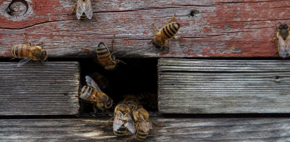 نقش پر اهمیت گونه های مختلف زنبور در گرده افشانی و کشاورزی