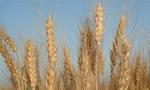 به علت خالی بودن سیلوهای کشور، وزارت بازرگانی پانصد هزار تن گندم خریداری نمود(1353ش)
