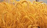 وزیر بازرگانی پانصد هزار تن گندم خرید و با خرید قبلی میزان گندم خریداری شده به یک میلیون تن رسید(1353ش)