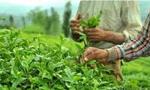 ورود چاي به کشور آزاد شد. (1333 ش)