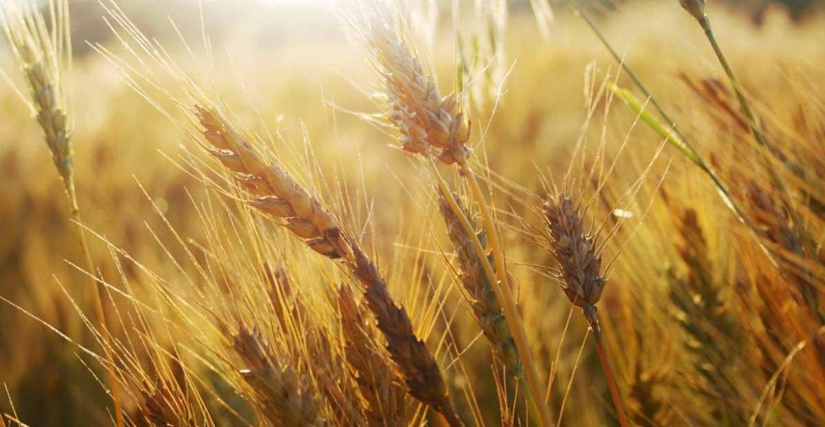 خواص گندم برای سلامتی (بخش دوم)
