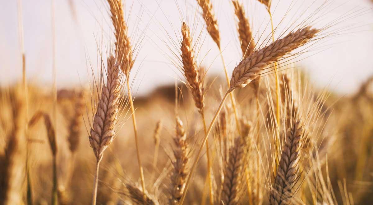 خواص گندم برای سلامتی (بخش اول)