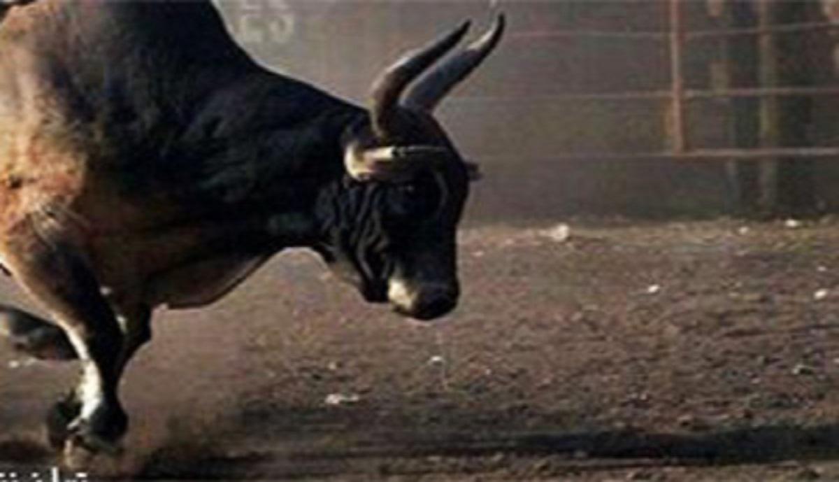 گاو وحشی به حیوان آزاریِ گاوباز پاسخ محکمی داد