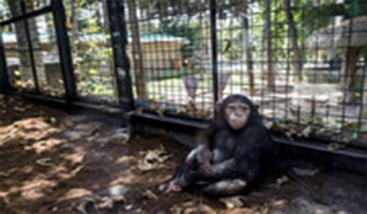 عکس العمل خندهدار شامپانزه به تقلید رفتارش!