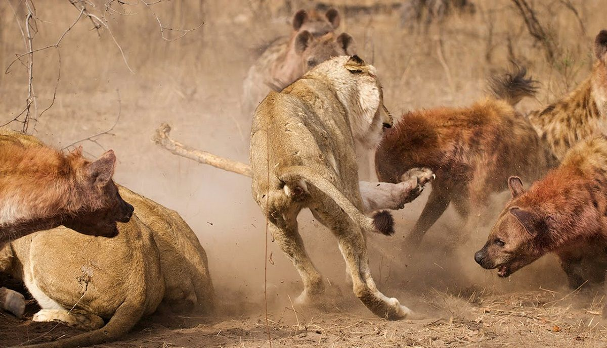 نبرد شجاعانه سلطان جنگل با ۲۰ کفتار