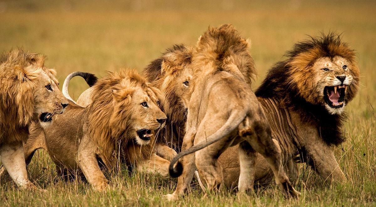 لحظه وحشتناک تعقیب گردشگران توسط شیر