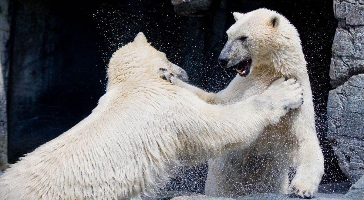 مقابله یک مرد روسی با دو خرس قطبی