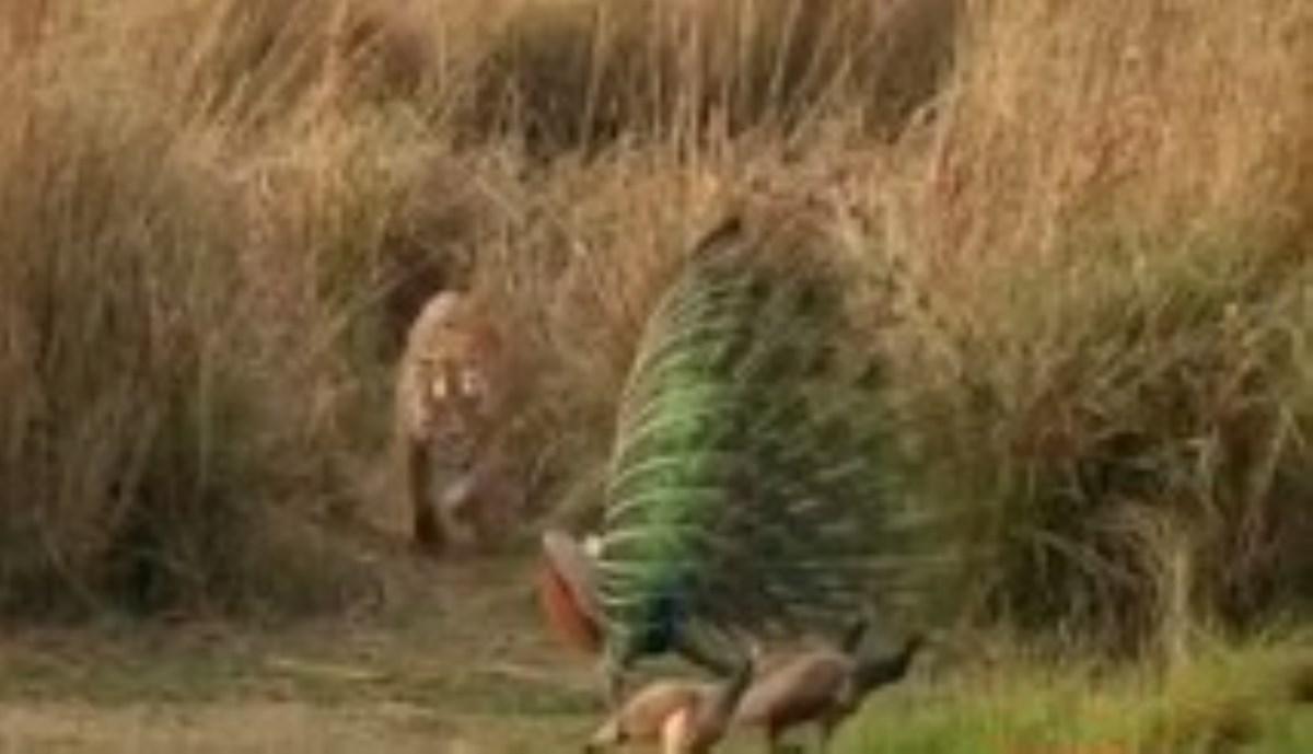 فرار دیدنی طاووس از چنگال ببر!