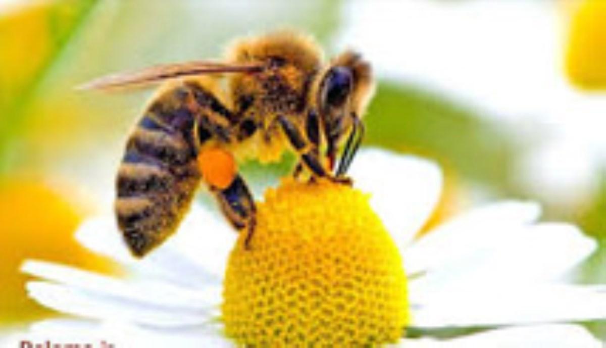 5 توانایی فوق العاده زنبور عسل
