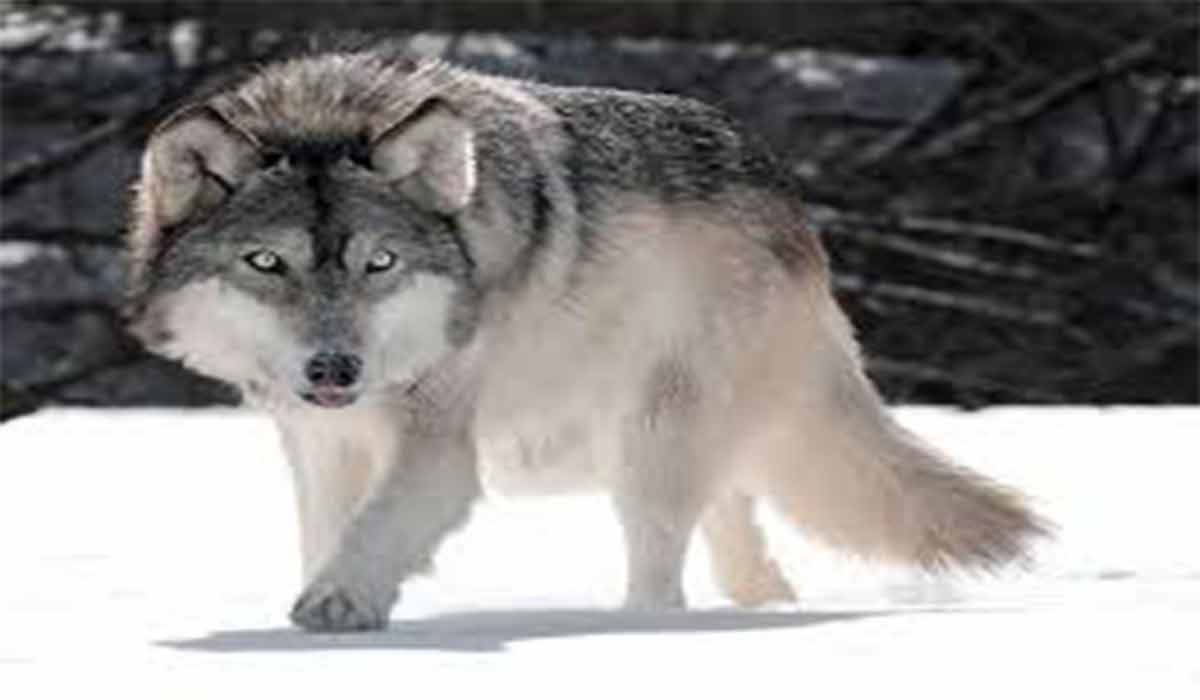 نان دادن به گرگهای گرسنه!