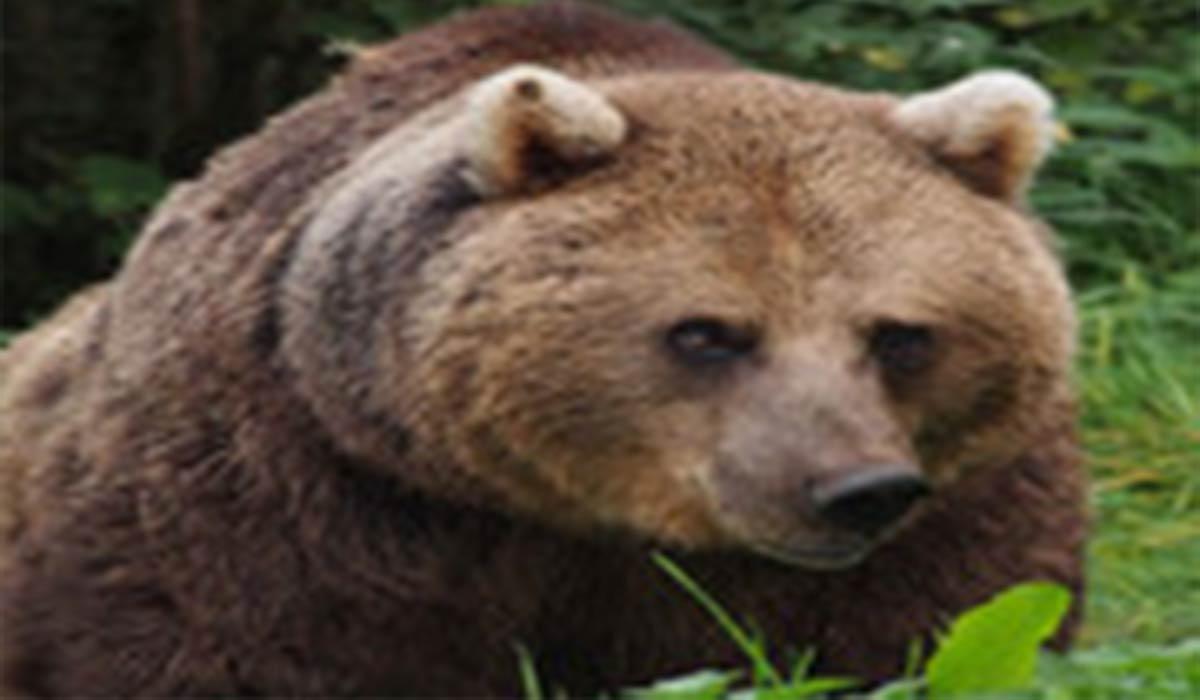 فرار محیط بان مازندرانی از دست خرس عصبانی
