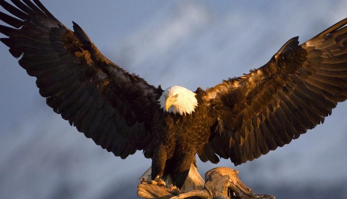 زنده خواری طعمه توسط عقاب
