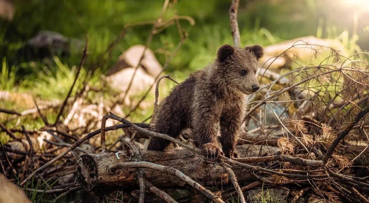 لحظات شیرین بازگشت به زندگی توله خرس در مریوان پس از قتل دلخراش خرس مادر