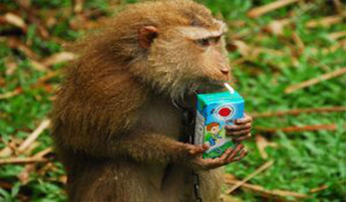 میمون دزد!