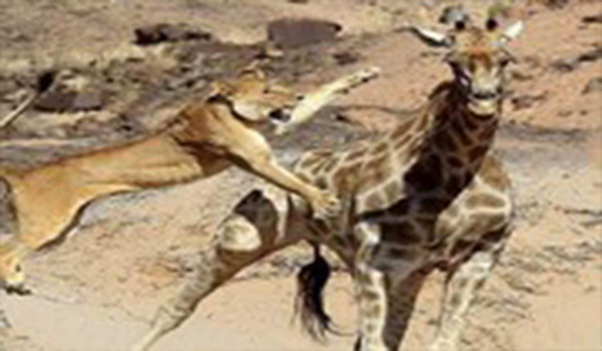 ویدئوی شکار زرافه توسط شیر قدرتمند