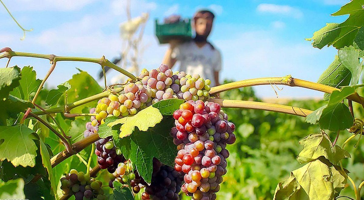 آئین شکرگزاری برداشت انگور در روستای هزاوه