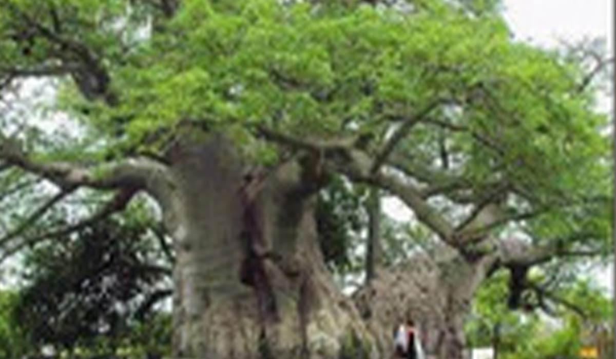 آویزان شدن از درخت برای درمان بیماری!