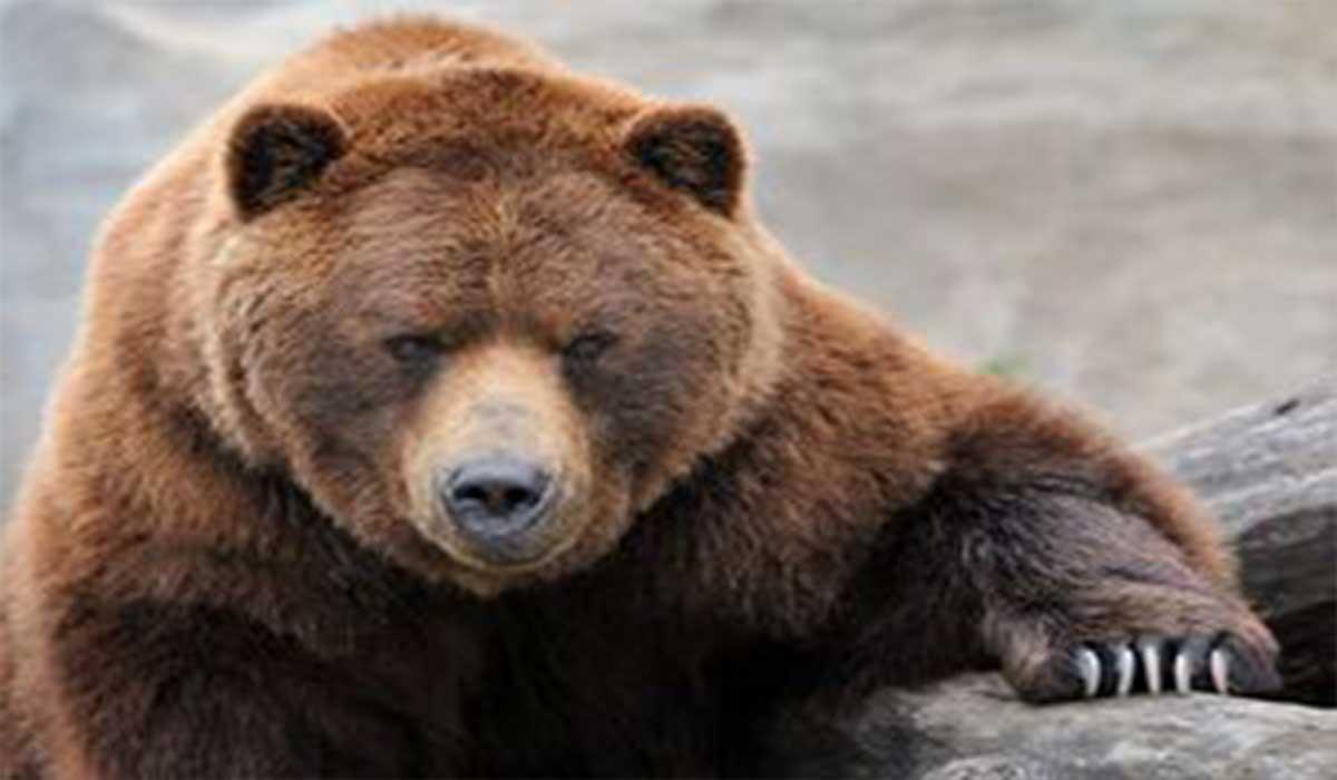 خرس فوتبالیست!