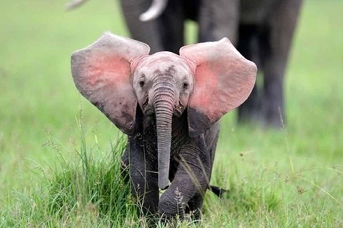 تولد نخستین فیل در ایران