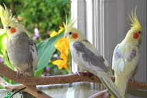 6003-7؛ BIRD, COCKATIEL- صدای عروس هلندی