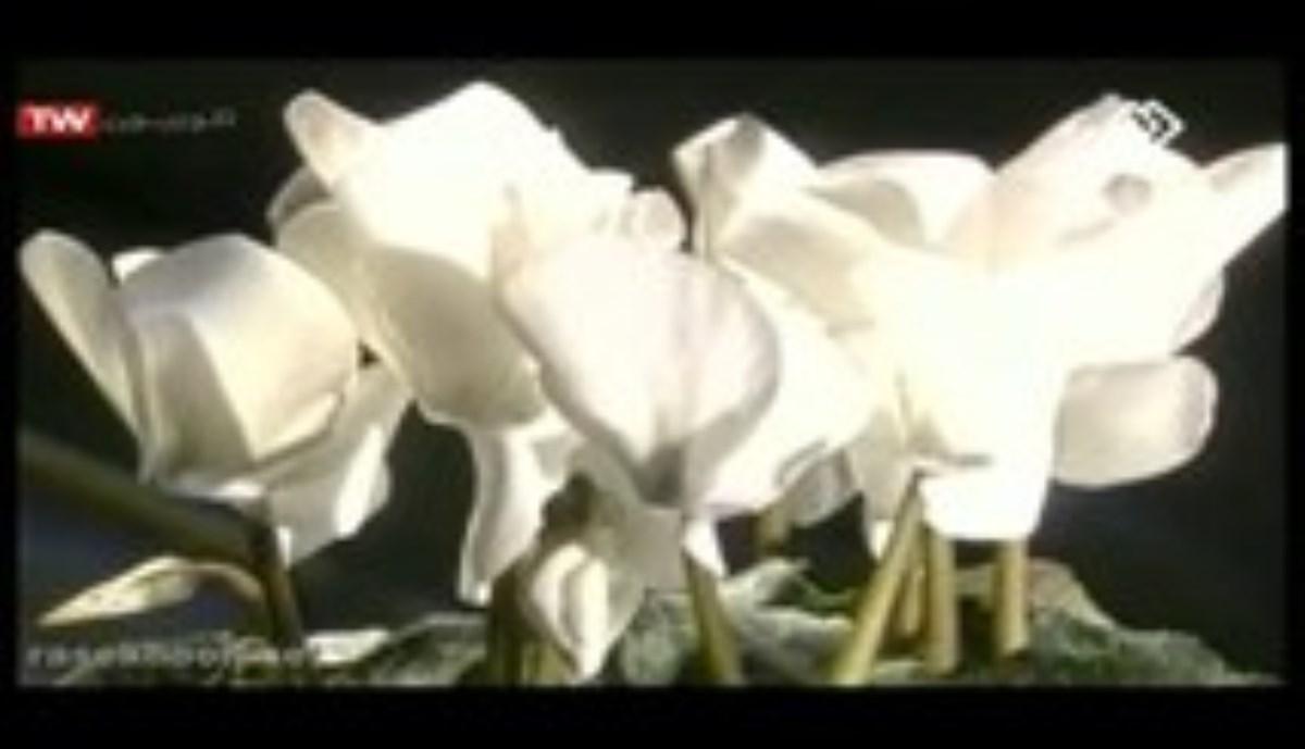 جاذبه گل ها - این برنامه گل سیکلامن