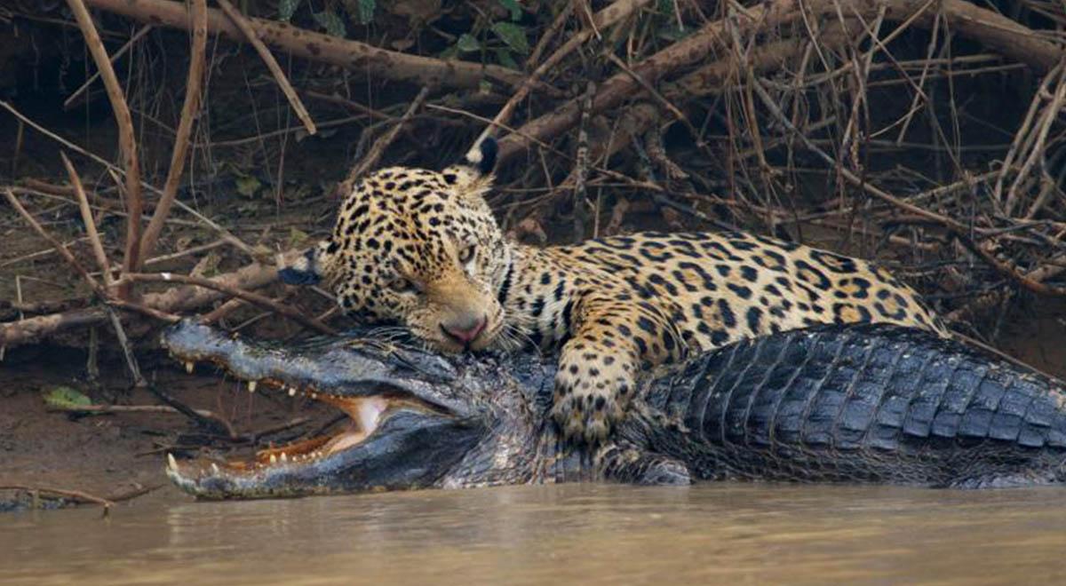 ثبت اولین تصویر از شکار بزرگترین تمساح توسط جگوار