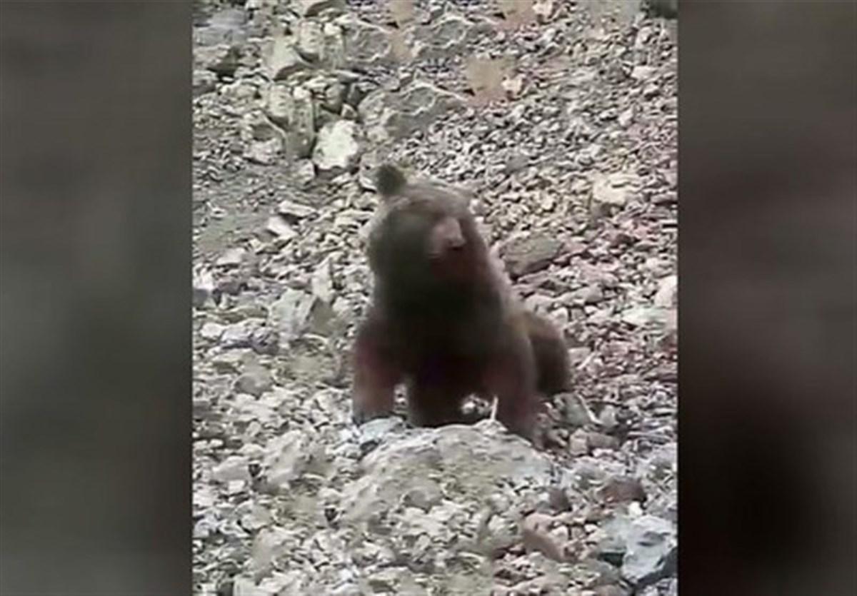 ماجرای حمله به توله خرس 2 ساله در سوادکوه مازندران/ دستگیری یکی از ضاربان