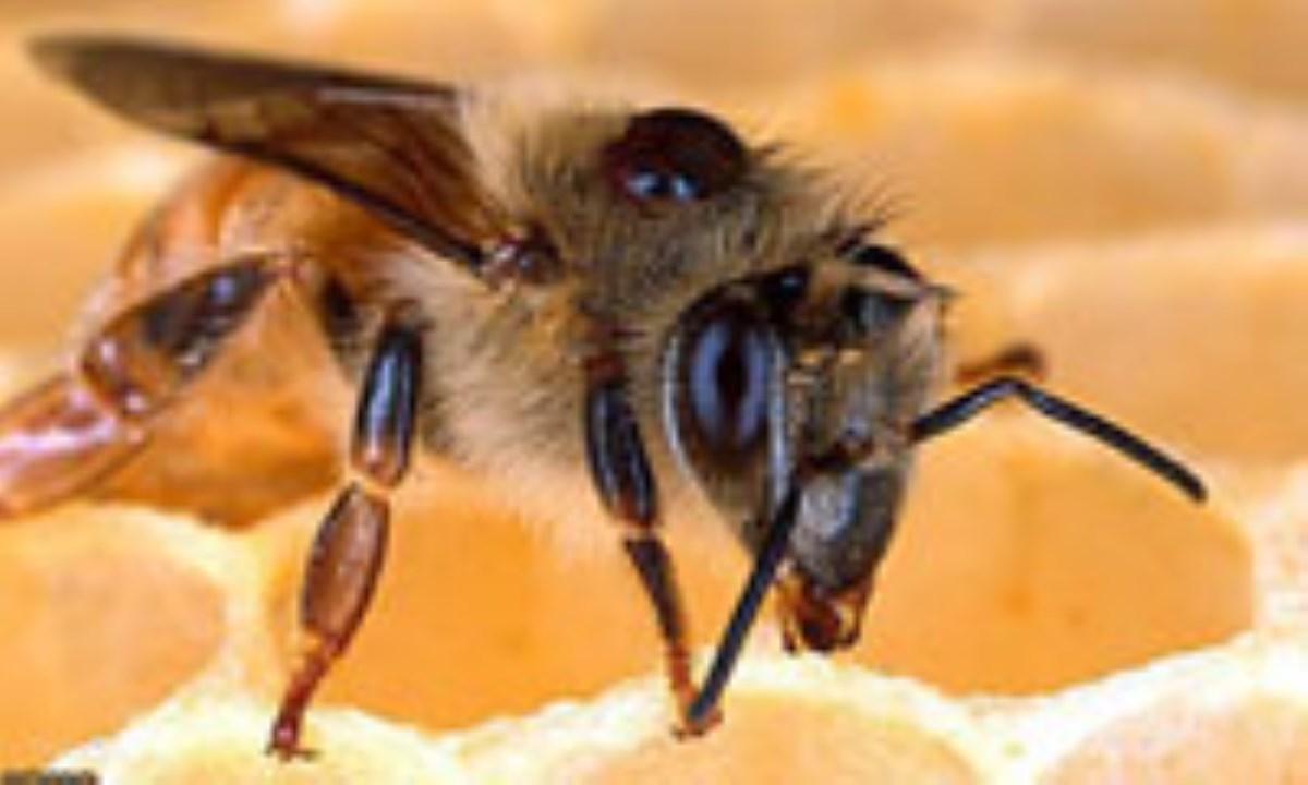 تسکین درد با زهر زنبور