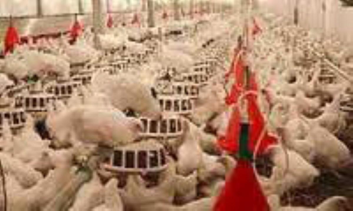 تولید 15 درصدی گوشت مرغ مازاد برمصرف بازار