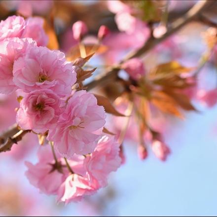 شکوفه درخت بهاری