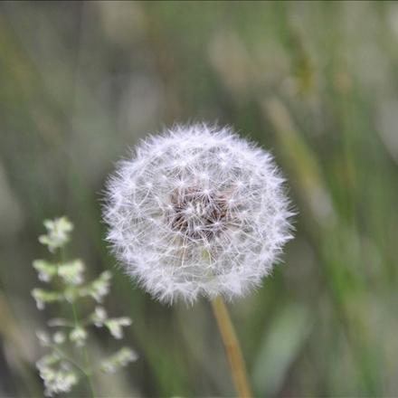 قاصدک,Dandelion,گیاهان,طبیعت