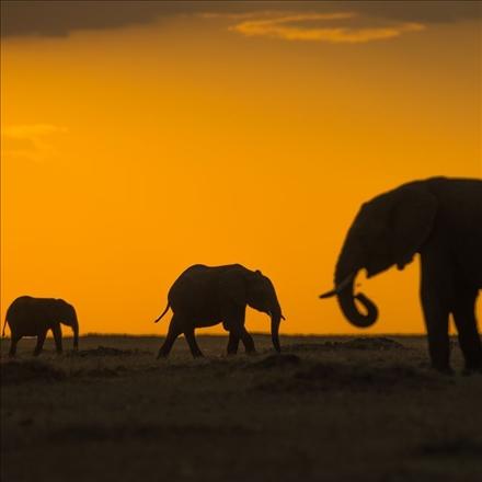 عکس فیل های افریقایی