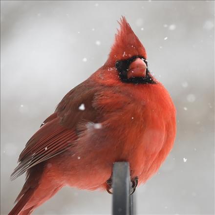 کاردینال تاج قرمز