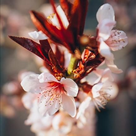 شکوفه بهاری
