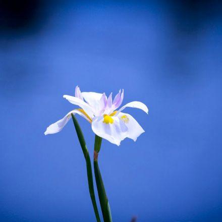Цветок лилия голубой ангел фото
